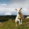 Spring Lamb On Hillside by Kevin Day