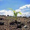 Sprout Of Maize by Bernard Jaubert