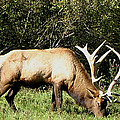 Stand Alone Elk Print by The Kepharts