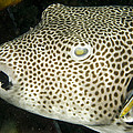 Star Puffer Fish Being Cleaned by Tim Laman