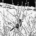 Stellar Jay   Print by Will Borden