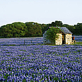 Stone Shed In Field Of Bluebonnets by Jeremy Woodhouse