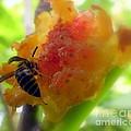 Succulent Fig by Karen Wiles