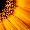 Sun Burst - Sunflower by Martin Williams