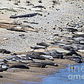 Sunbathing Elephant Seals Along A Beach At Point Reyes California . 7d16065 by Wingsdomain Art and Photography