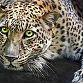 Sundari by Big Cat Rescue