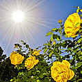 Sunflare and Yellow Roses Print by Amber Flowers