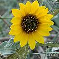 Sunflower Smile by Sara  Mayer