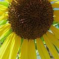 Sunflower-two by Todd Sherlock