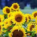 Sunflowers by Paul Ward