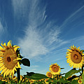 Sunflowers by Robin Wilson Photography