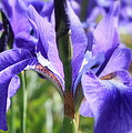 Sunlight on Blue Irises Print by Carol Groenen