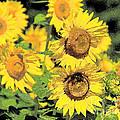 Sunny Sunflowers by Diana  Tyson