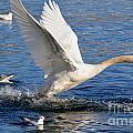 Swan Take Off by Mats Silvan