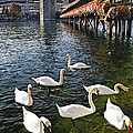 Swans Of The Chapel Bridge by George Oze