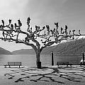 sycamore trees in Ascona - Ticino by Joana Kruse