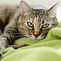 Tabby Cat On Green Blanket by Dhmig Photography