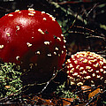 The Introduced Bright Red Fly Agaric by Jason Edwards