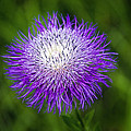 Thistle II by Tamyra Ayles