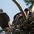 Three Bald Eagles In The Nest by Mitch Spillane