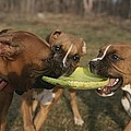 Three Boxer Dogs Play Tug-of-war by Roy Gumpel