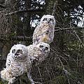 Three Great Horned Owl Bubo Virginianus by Richard Wear