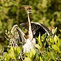 Three Tricolored Heron Egretta Tricolor by Tim Laman