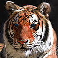 Tiger Blue Eyes by Rebecca Margraf