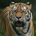 Tiger by David Rucker