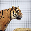 Tiger In Captivity by Linda Wright