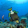 Titan Triggerfish Picking At Coral by Steve Jones