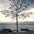 tree at lake Constance Poster by Joana Kruse