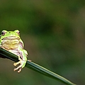 Tree Frog by Aaa