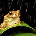 Tree Frog In Rain by MarkBridger
