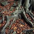 Tree Roots Of A Beech Tree by Adrian Bicker