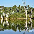 Tree Stumps In The River by Kaye Menner