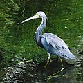 Tri Color Heron
