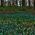 Trout Lilies On Forest Floor by Steve Gadomski