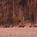 Turkey - Wild Turkey - Seventeen Longbeards Print by Travis Truelove