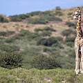 Two Giraffes Looking Into The Distance by Heinrich van den Berg