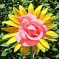 Unique Sun Rose by Eric Kempson