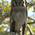 Verreauxs Eagle Owl, Bubo Lacteus, Or by Paul Sutherland