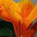 Vibrant Canna by Susan Herber