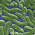 Vibrio Vulnificus Bacteria, Sem by Cdc