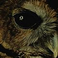 View Of A Northern Spotted Owl Strix by Joel Sartore