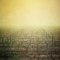 Vineyard In Mist by Paul Grand Image