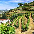 Vineyard Landscape by Carlos Caetano