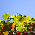 Vineyard Leaves by Carlos Caetano