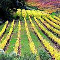 Vineyard Sonoma 7 by Anthony George