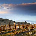 Vineyard Storm by Mike  Dawson